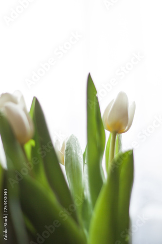 Fototapety, obrazy: White tulips in a vase on the table