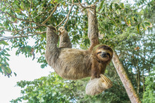 Costa Rica Sloth Hanging Tree Three-thoed Sloth