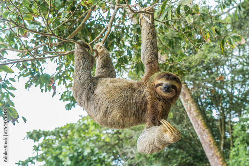 Carta da parati  Costa Rica sloth hanging tree three-thoed sloth