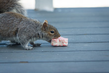 A Squirrel Closes His Mouth Around A Snack Cake