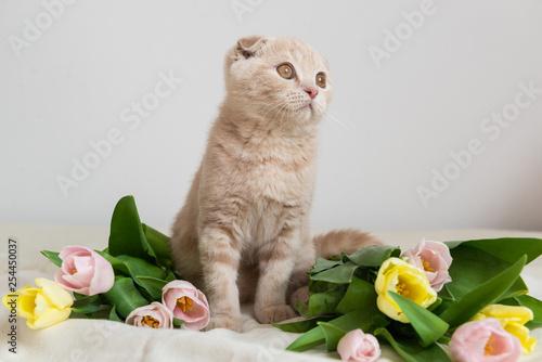 Fotografía  Scottish kitten portrait with tulips bouquet