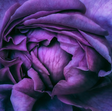Inner Of A Single Isolated Blooming Violet Blue Rose Blossom, Fine Art Still Life Colorful Top View Macro Of The Heart,detailed Texture,surrealistic Painting Style