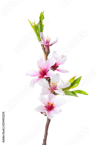 Slika na platnu Flowering branch of Almond isolated on white background.