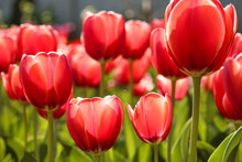 Fresh Red Tulip Flowers In The...