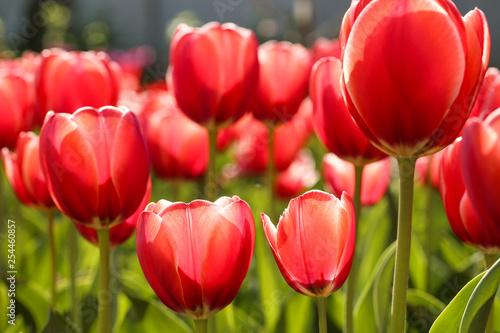 Fotografia, Obraz Fresh red tulip flowers in the garden