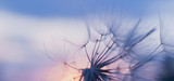 Fototapeta Dmuchawce - dandelion at sunset . Freedom to Wish. Dandelion silhouette fluffy flower on sunset sky
