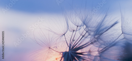 Fototapeta dandelion at sunset . Freedom to Wish. Dandelion silhouette fluffy flower on sunset sky obraz