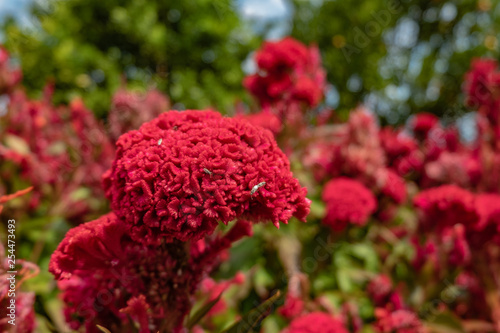 Vászonkép Cockscomb flower