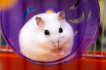 Cute White Hamster Sits And Looks Out Of The Hamster Purple Wheel, Cute Pets