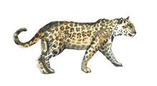 Watercolor Leopard  Walking Il...