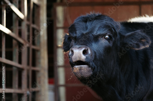 Black angus calf looking at camera with mineral on mouth Wallpaper Mural