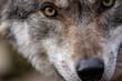 canvas print picture - Wolf - Nahaufnahme Augen