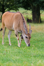 A Portrait Of A Common Eland (...
