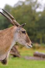 A Portrait Of A Common Eland (oryx) In The Rain