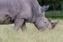 A Portrait Of A White Rhino Walking Though Tall Grass