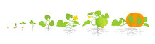 Growth Stages Of Pumpkin Plant. Vector Illustration. Cucurbita Cucurbitaceae. Pumpkin Life Cycle. On White Background.