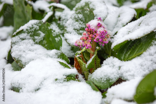 Bergenia flowers under the snow. Natural disasters. Canvas Print