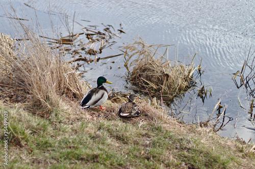 Para kaczek nad woda