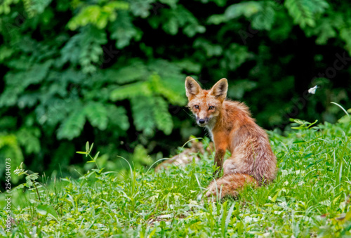 Foto auf Leinwand Luchs Little wild Red Fox Pup playing with his family in green grass.
