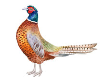 Pheasant. Beautiful Bright Rea...