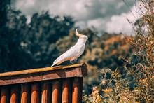White Cockatiel In Bokeh Photo...