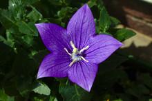 Purple 5-petal Flower