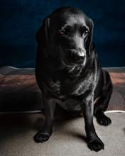 Adult Black Labrador Retriever On Focus Photo