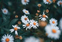 White-and-orange Daisy Flowers