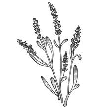 Lavandula Lavender Flower Plant Sketch Engraving Vector Illustration. Scratch Board Style Imitation. Black And White Hand Drawn Image.