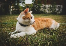 Orange Tabby Cat Lying On Grass Field