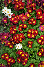 Primrose (Primula). Colorful S...