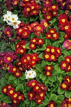 Primrose (Primula). Colorful S...