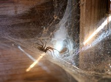 Brown Funnel Spider On Web