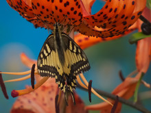 Swallowtail (Papilio Machaon) Butterfly On A Tiger Lily Flower