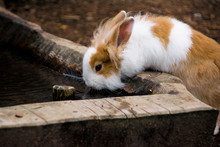 White And Brown Hare Drinking Water On Log