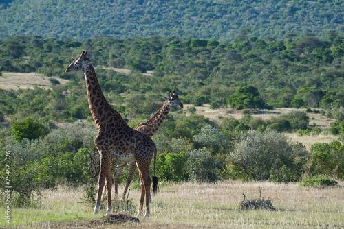 Photo  Giraffes in Maasai Mara