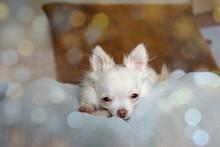 Bokeh Photography Of White Chihuahua