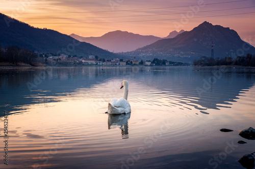 Foto op Canvas Zwaan The swan
