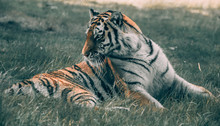 Adult Tiger Lying On Grass