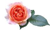 Fototapeta Kwiaty - Róża Chippendale