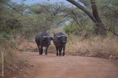 Photo  Cape Buffalo on a Stroll