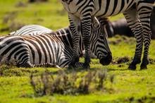 Relaxed Zebras