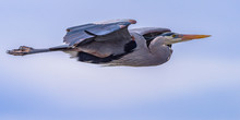 Great Blue Heron In Flight With Blue Sky With White Puffy Clouds