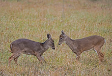 Two Young White Tailed Bucks P...