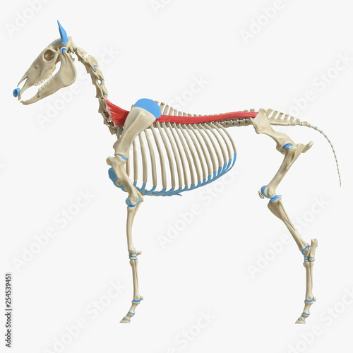Fototapeta 3d rendered medically accurate illustration of the equine muscle anatomy - Spinalis obraz