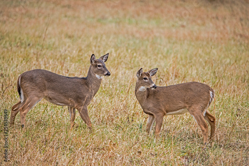 Fotografie, Obraz  Two young White Tailed Bucks play fighting in Cades Cove.