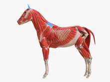 3d Rendered Medically Accurate Illustration Of The Equine Muscle Anatomy