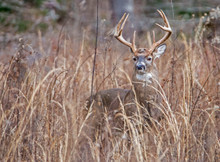 White Tailed Buck In Tall Grasses Looking Alert.