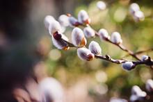 Wunderschöne Weidenkätzchen Zur Osterzeit Im Frühling
