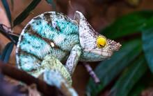 An Adult Parson's Chameleon (Calumma Parsonii) Resting Among Jungle Vegetation.